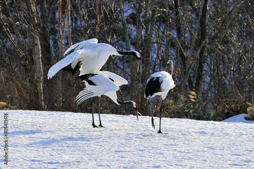 Fototapeta premium Red-crowned Crane, Chinese Kraanvogel, Grus japonensis