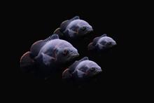 Oscar Fish On Dark Background