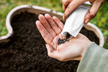 Woman Is Holding And Planting Some Basil Seed In A Plant Pot