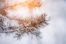 Warm Sunlight Illuminates The Long Needle Pine Branches, Which Are Covered With Snow And Frost On A Frosty Winter Morning. Winter Forest.