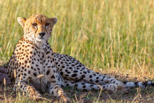 Cheetah Lying Down In The Grass And Looking At The Camera On The African Savannah