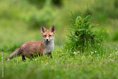 Fototapeta premium Juvenille red fox, vulpes vulpes, standing on meadow in spring nature. Baby orange mammal looking on green field with wildflower. Little animal listening on glade.