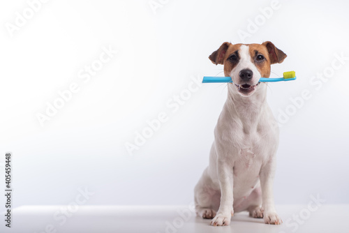Tablou Canvas Smart dog jack russell terrier holds a blue toothbrush in his mouth on a white background