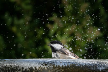Beautiful Shot Of A Cute Little Black Capped Chickadee Bathing
