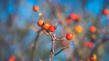 Beautiful Wild Rose Hips In Late Autumn. Shooting With A Soviet Manual Lens.