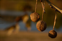Sycamore Tree Spiky Balls Of Seeds In The Golden Hour During Sunset