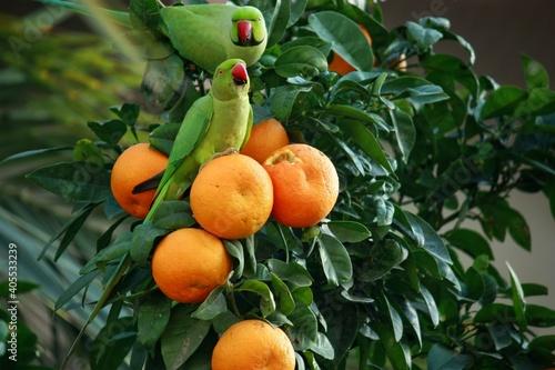 Two green parrots on top of an orange tree in Tel Aviv