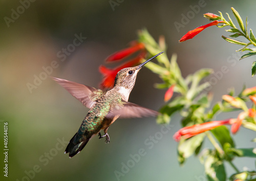 Fototapeta premium A Hummingbird Feeding on a Flowers Nectar on a Summer Evening