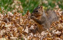 An Adorable Fox Squirrel Feeding On A Suburban Lawn In The Autumn Leaves