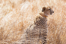 Shallow Focus Of A Leopard In A Game Reserve