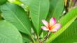 Leinwandbild Motiv Close-up Of Pink Lotus Water Lily