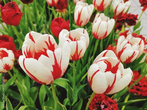 Close-up Of White Tulips On Field