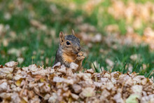 An Adorable Fox Squirrel In A Pile Of Leaves On An Autumn Morning