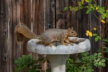 An Adorable Fox Squirrel On A Birdbath