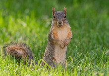 An Adorable Fox Squirrel In A Sunny Yard