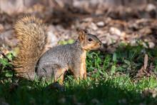A Fox Squirrel In A Sunny Suburban Yard