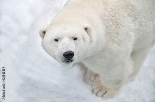 Fotografiet polar bear in the snow