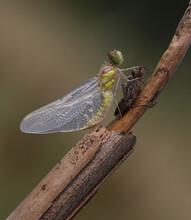 Große Heidelibelle - Common Darter