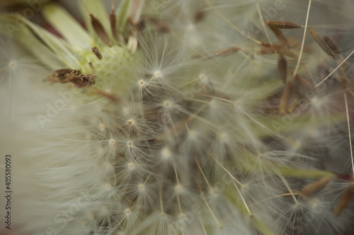 Fototapeta premium Close-up Of Dandelion On Plant