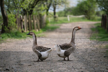 Two Gray Geese On A Village Road