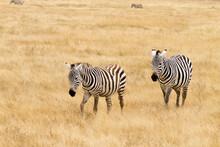 Zebras On Ngorongoro Conservation Area Crater, Tanzania