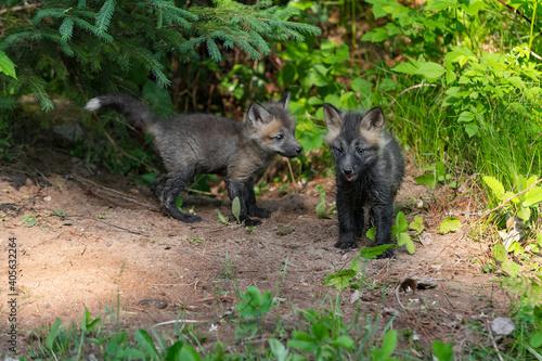 Fototapeta premium Red Fox (Vulpes vulpes) Kits Stands Near Den Summer