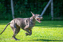 Grey Harlequin Great Dane Dog Running. Happy Dog Running With Mouth Open