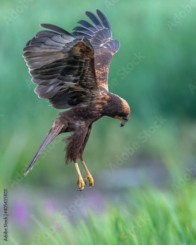 Fotografia Juvenile Marsh Harrier