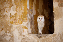 Barn Owl, Tyto Alba, Peeks Out From Window In Old Peeling Brick Wall. Owl With Heart-shaped Face. Beautiful Bird In Habitat. Urban Wildlife. Rural Building At Countryside.