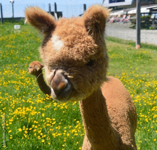 Fototapeta premium Close-up Of Alpaca On Field