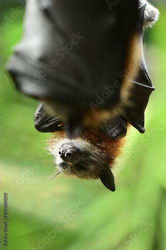 Fototapeta premium Black flying fox fruit bat