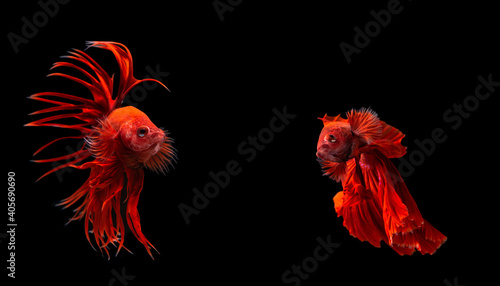 Fototapeta Two red beta fish colour red action fighting on black background.