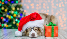 Border Collie Wearing Eyeglasses And Red Santa Hat Lying With Big Gift Box. Festive Background With Christmas Tree