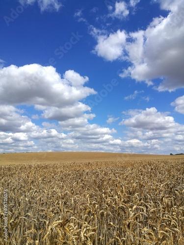 Billede på lærred Crop Fields On Sunny Day With Blue Sky And Clouds