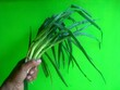 canvas print picture - Cropped Hand Holding Scallion Against Green Background