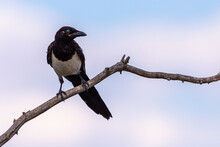 Magpie Or Pica Pica Perched On A Tree Branch On Sky Background