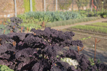 Autumn Crop Of Home Grown Organic Purple Leaved Redbor Kale (Brassica Oleracea 'Acephala Group') Growing On An Allotment In A Vegetable Garden