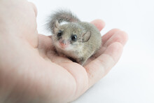 Adorable African Pygmy Dormouse On Hand Look At Camera On White Background