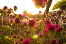 A Shot Of Numerous Small Purple Flowers Blurred And The Sunlight At Dusk Creates A Beautiful Bokeh Blur Background.