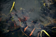 Florida Red-bellied Cooters Or Florida Red Belly Turtles In Water