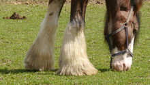 Front Legs And Head Grazing From Clydesdale Horse