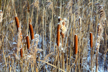 Broadleaf Cattail. Inflorescence-ear Of Cattail