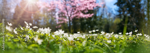 Photo Wood with lots of white spring Oxalis flowers in sunny day