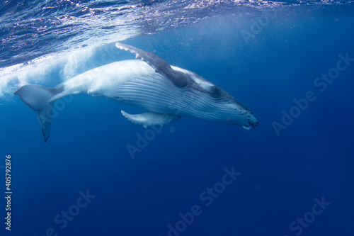Underwater View Of A Humpback Whale Swimming In Sea Wallpaper Mural