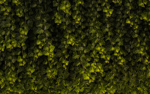 Full Frame Shot Of Ivy Growing In Forest