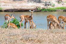 A Herd Of Impala Antelopes Seen On The Galana River Floodplains