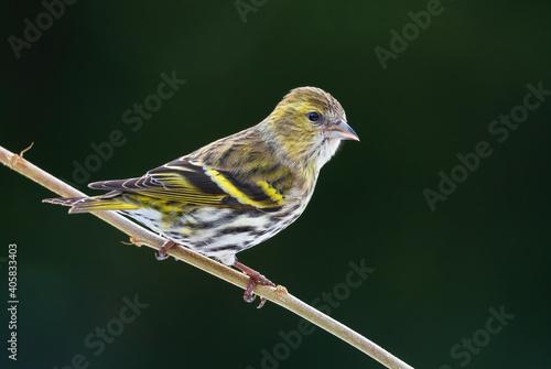 Eurasian Siskin - Carduelis spinus, beautiful perching bird from European forests and gardens, Zlin, Czech Republic.