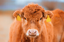 Cute Brown Cow With Yellow Ear Marks
