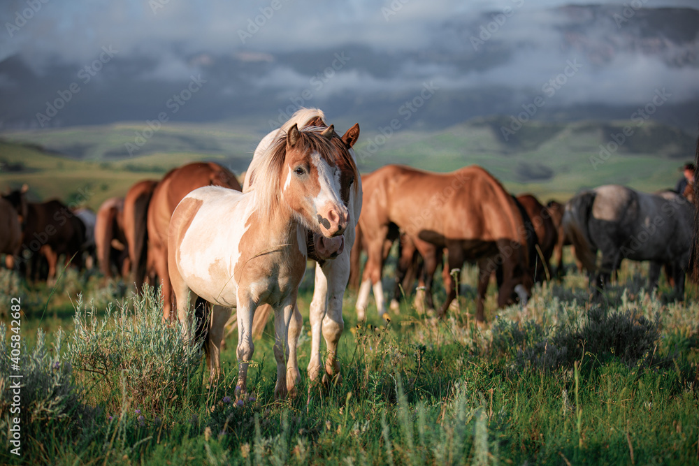 Fotografie, Obraz Paint pony with ranch horse herd in Montana grazing in front of the Pryor Mountains near billings in the summer