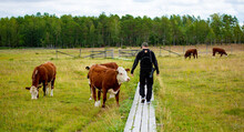Man Walking Among Cows In The Field